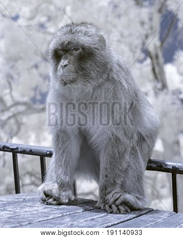 Gibraltar Monkey In Infrared