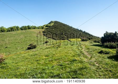 mountain meadow on Za Kraviarskym pass with Kraviarske hill covered by pinus mugo in spring Mala Fatra mountains in Slovakia with clear sky