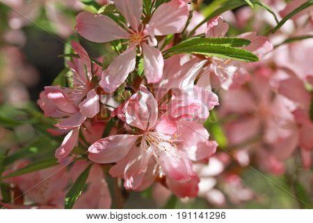 Flowering Almond Steppe (prunus Tenella)