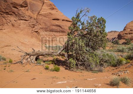 A fallen tree in the Arizona stone desert