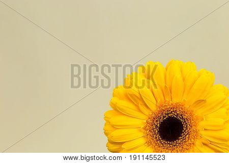 Beautiful Bright Yellow Gerber In Macro