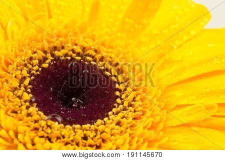 L Bright Yellow Gerber In Macro