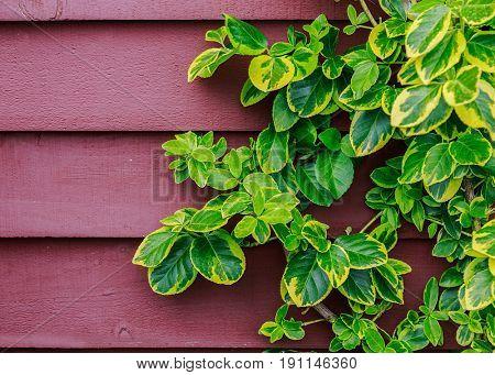Evergreen euonymus climbing up a wall.