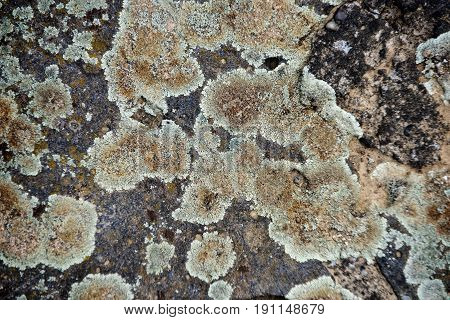 Lichens On Natural, Tree Bark