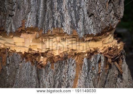 Natural wood tree trunk with coarse old bark texture surface chopped or cut by lumberer or beaver animal on brown timber background. Woodwork. Logging. Building and construction. Forest devastation