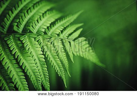 Beautiful fern leaves green foliage natural floral fern background.