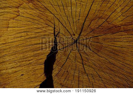 wood tree trunk with cracks and annual rings as yellow wooden background. Forest devastation. Logging. Timber production