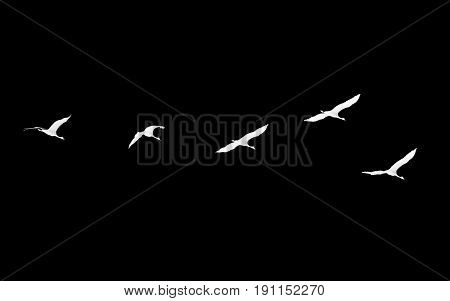 Flock of swans on a black background .