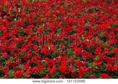 Flower bed of bright red decorative flowers