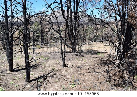Charcoaled landscape with burnt Pine Trees destroyed from a wildfire taken in the Sierra Nevada Mountains, CA