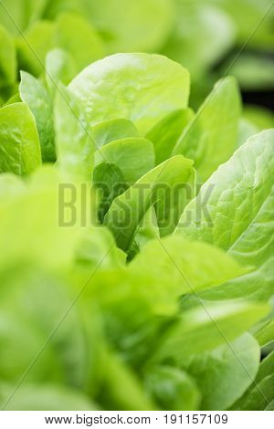 Fresh Lettuce Leaves, Close Up. Healthy Organic Food.