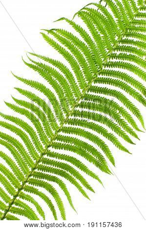 Fragment Of A Fern Leaf Close-up On A White Background..