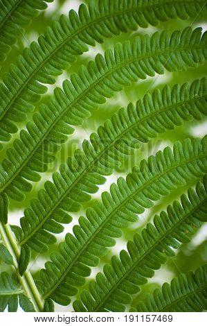Fern leaf fragment close-up (macro) on a white background.
