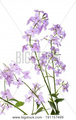 Branches Of Blossoming Hesperes (night Violet) Lilac On A Clean White Background..