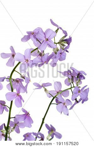 Blossoming Hesperes (night Violet) On A Clean White Background Close-up..