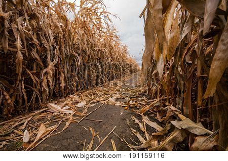 A path in a corn maze is strewn with the golden husks