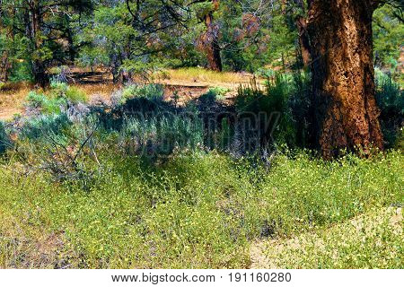 Wildflowers surrounding Pine Trees taken at a meadow in the Sierra Nevada Mountains, CA