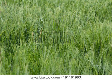 a green wheat field - corn field in bavaria
