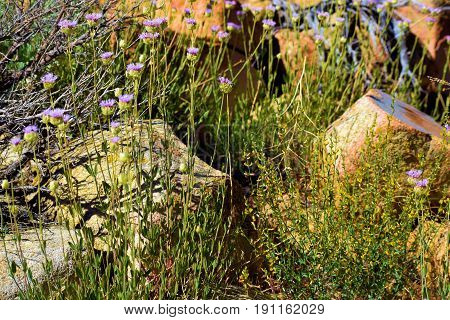 Wildflowers and sagebrush beside rocks at a rural meadow during spring taken in the Sierra Nevada Mountains, CA