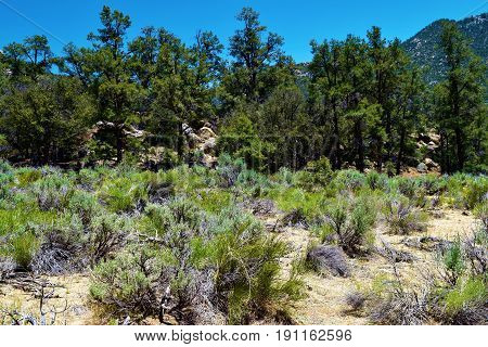 Meadow of Sage Plants surrounded by a Pine Forest taken in the Sierra Nevada Mountains, CA