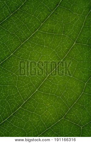 Green leaves background. Leaf texture, green leaf macro as a background