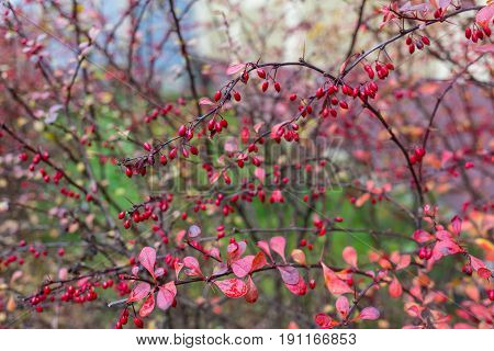 red briar berries on the tree in the park