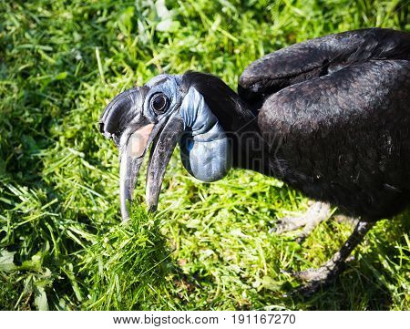 Wild raven with a big beak on the nature .