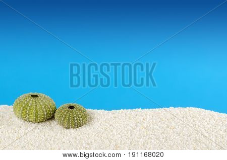 Two green sea urchin shells on white sand with blue background. Urchins, also sea hedgehogs, with globular endoskeleton, called test. Psammechinus miliaris from the Mediterranean Sea. Macro photo.