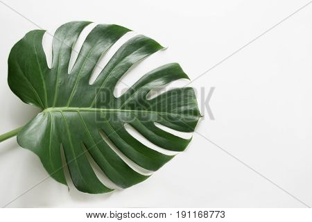 Single leaf of Monstera plant on white background. Close up isolated with copy space