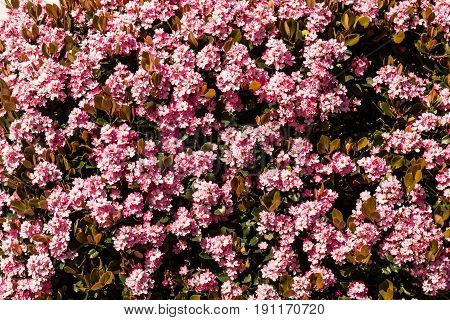 Indian Hawthorn evergreen shrub blooming with pink flowers.