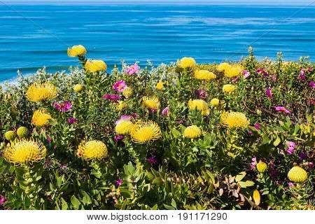 Protea Pincushion High Gold (Leucospermum cordifolium) flowers growing in a garden with a background of blue ocean water.
