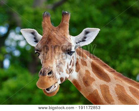 Close-up of a giraffe in front of some green trees looking at the camera pulling a funny face. With space for text.