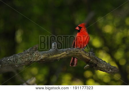 Male Cardinal perched on a branch with nice and soft background