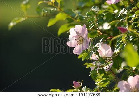 Image of wild rose with light from behind