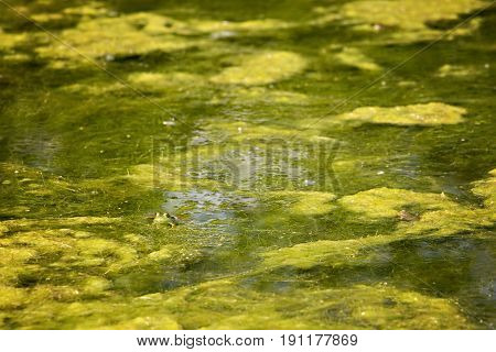 Green frog poking head out of green algae water