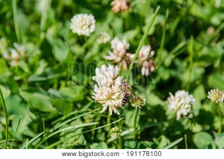 Clover With A Bee. White Clover.