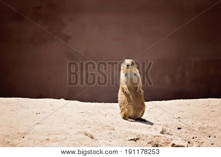 Prairie dog sitting up on brown hill against brown background