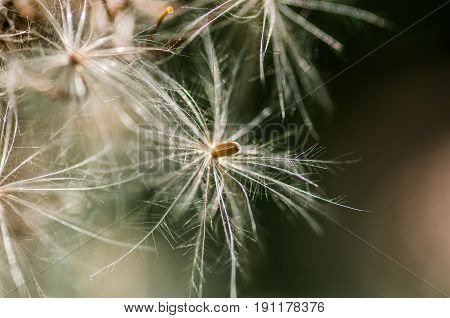white dandelion blowball on the nature background