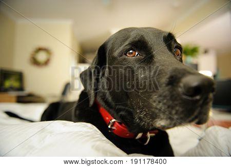 Black Labrador Retriever lying on bed in bedroom
