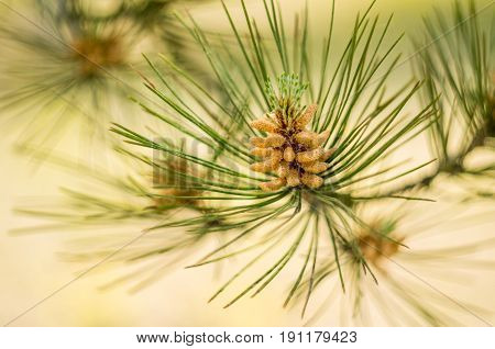 fir cone on a pine tree on nature background