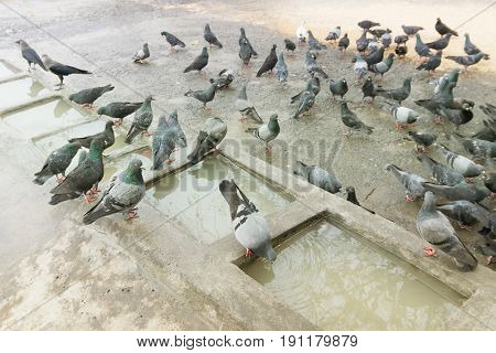 Pigeons bathing and drinking water at Mallik Ghat or Jagannath ghat flower market in Kolkata on 13.02.16. It is one of Biggest flower markets in Asia.