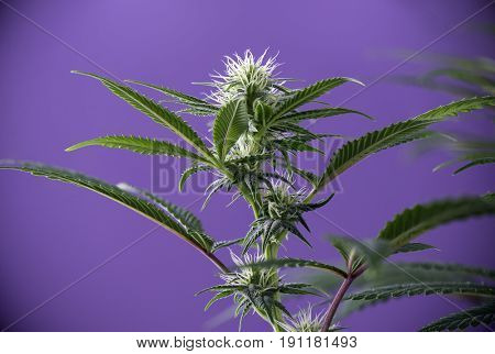 Cannabis flower (Thousand Oaks strain) - Blooming Marijuana plant with early white flowers over purple background