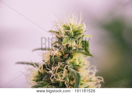 Close up detail of Cannabis cola (russian doll marijuana strain) with visible hairs, trichomes and leaves on late flowering stage