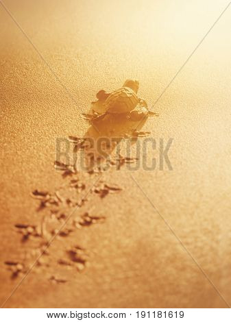Baby leatherback sea turtle traveling towards the sunlight on the beach Trinidad and Tobago