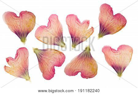 Pressed and dried delicate petals of flowers of mallow (malva) isolated on white background. For use in scrapbooking pressed floristry (oshibana) or herbarium.