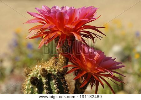Pink and Orange Cactus Bloom with Soft Pastel Desert Background