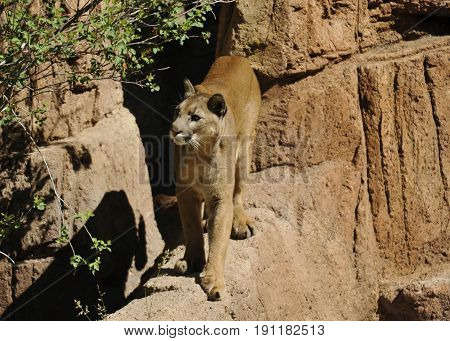 Cougar / Mountain Lion on the Edge