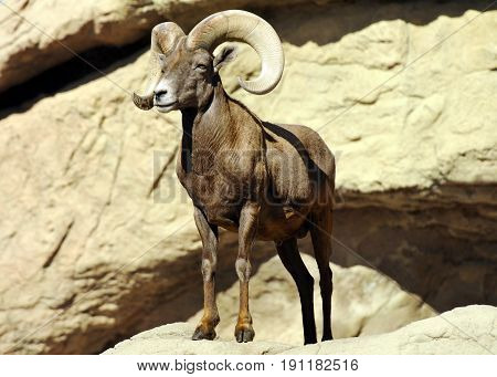Sure Footed Big Horned Sheep Standing on the Edge