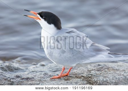 Common Tern (Sterna hirundo) Adult perched by the lake and calling. Santa Clara County, California, USA.