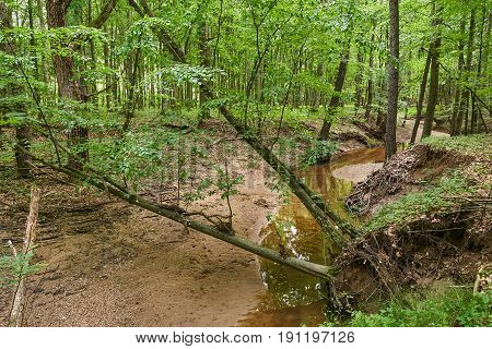 Deciduous Forest In The Summer